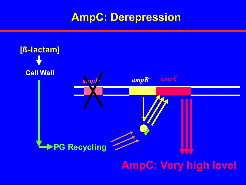 AmpC: Derepression AmpC: Very high level [ß-lactam] PG Recycling